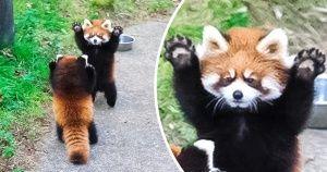 20+ неоспоримых доказательств того, что красные панды такие же крутые, как и обычные